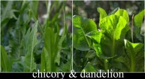 Diet for Cirrhosis Of The Liver,chicory and dandelion