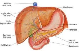 Cirrhosis Of The Liver Treatment,liver