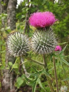 milk thistle benefitsfor cirrhosis